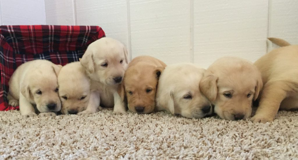 English Lab Puppies for sale in Indiana