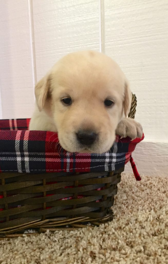 English White Lab Puppy for sale in Indiana