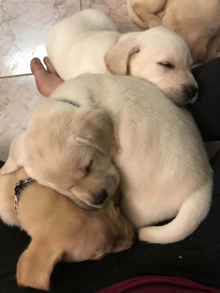 lab puppies for sale Indianapolis